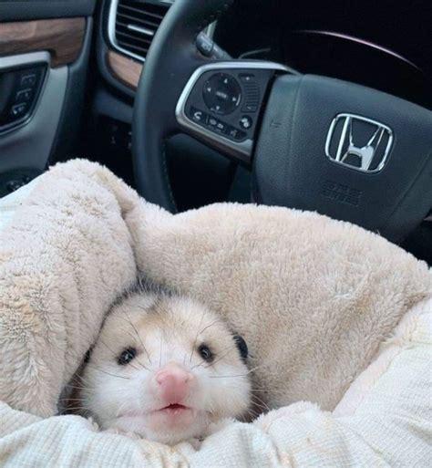 50 Funny Possums Photos Barnorama