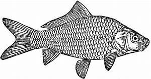 Carp Fish Drawing | www.pixshark.com - Images Galleries ...