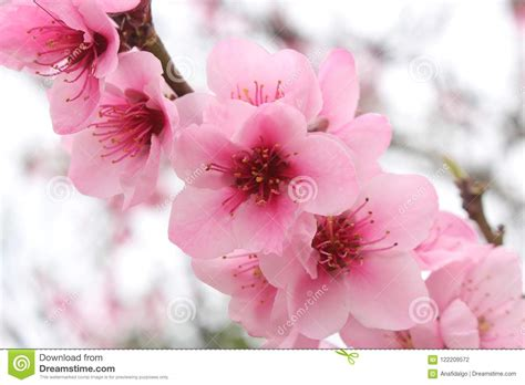 Close Up Of Blooming Cherry Blossom Pink Flowers Stock