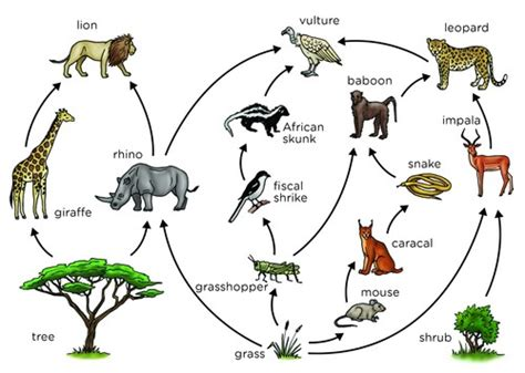 food web  africa clipart   cliparts