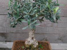 Bonsai Arten Für Anfänger : bonsai pflanzen pflege und tipps mein sch ner garten ~ Sanjose-hotels-ca.com Haus und Dekorationen