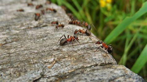 ameisen bek 228 mpfen diese hausmittel helfen in der wohnung