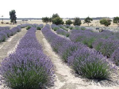 soil type for lavender about lavender emu bay lavender kangaroo island south australia