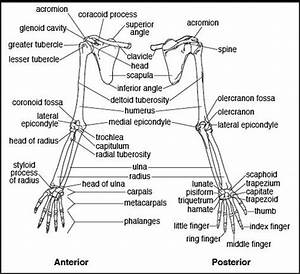 1000  Images About Upper Limb Anatomy On Pinterest