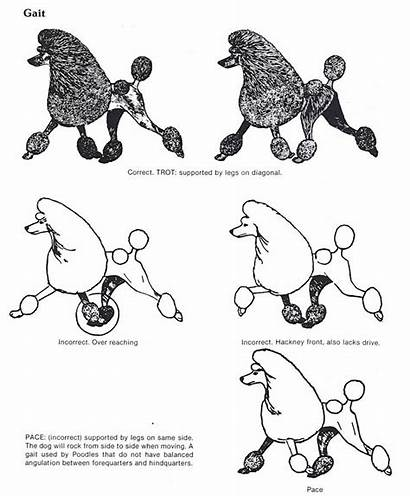 Poodle Standard Dog Explained Structure Grooming Dogs
