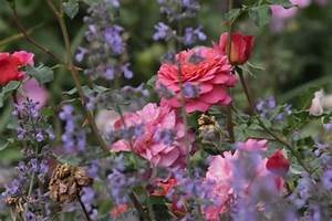 Rosen Und Stauden Kombinieren : die neuen rosenbegleiter von master stauden winterharte stauden f r lebendige g rten ~ Orissabook.com Haus und Dekorationen