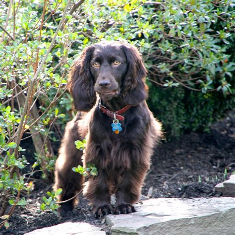 Do Boykin Spaniel Dogs Shed by Boykin Spaniel Breed Guide Learn About The Boykin Spaniel