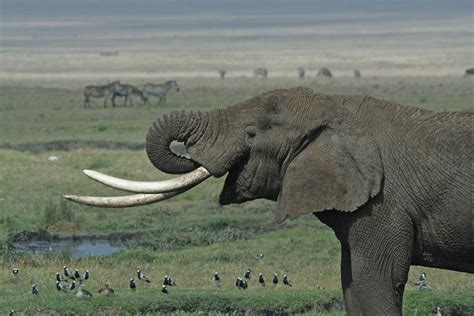 what color are elephants tusk