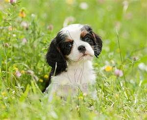 tri-color Cavalier King Charles Spaniel | Cute Animals ...