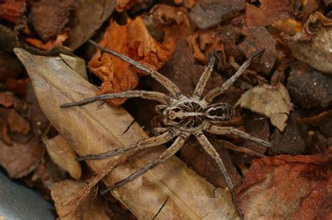 Garden Spider Toxicity by Tasmanian Spiders