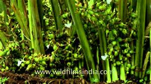 forest backdrop fruit of cardamom plant