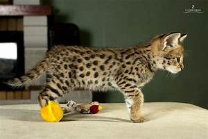 Domestic Serval | Purrfect Cats | Pinterest