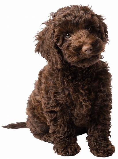 Labradoodle Chocolate Puppy Sitting Transparent Puppies Doodles
