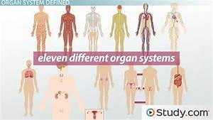 What Is An Organ System  - Definition  U0026 Pictures