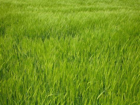green barley field green barley field barley hordeum