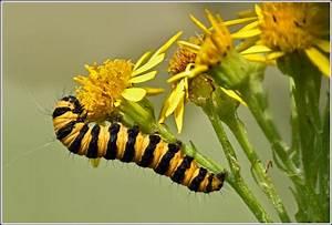 Gelb Schwarze Raupe : raupe vom jacobskrautb r foto bild tiere wildlife insekten bilder auf fotocommunity ~ Orissabook.com Haus und Dekorationen