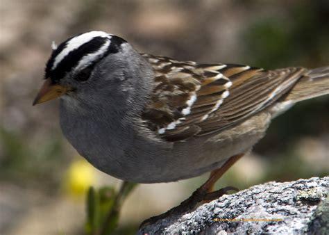a white crowned sparrow in jasper national park 171 jasper
