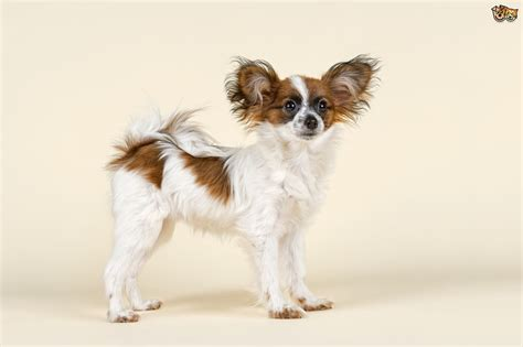 papillon dog breed facts highlights buying advice