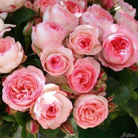 Kletterrose Mini Eden Rose Kletterrose Schöne Blumen