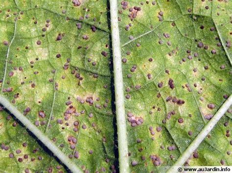 cuisiner blettes feuilles rouille puccinia recondita traitement et lutte