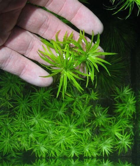 aquarium plants low light popular low light aquarium plants that even i cannot kill with