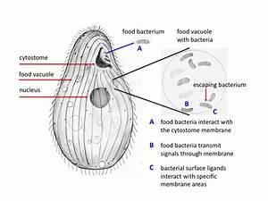 Food Vacuole Drawing