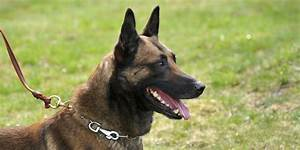 Renzo The Police Dog Stripped Of Badge After Biting Dunkin ...