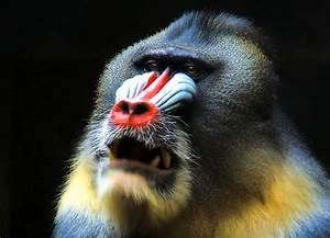 Animals of the world: Mandrill