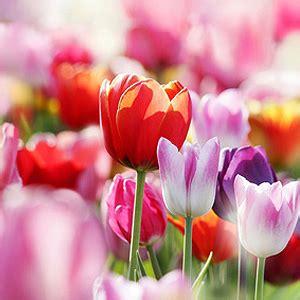 Tulpen Im Topf In Der Wohnung by Tulpen Im Topf In Der Wohnung Farbenfrohe Minigrten Mit
