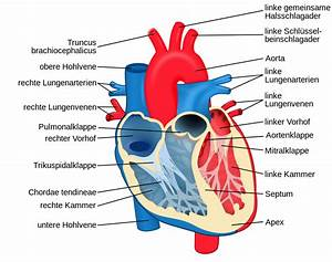 File Heart Diagram-de Svg