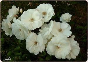 Fleur Rose Et Blanche : fleurs blanches et roses ~ Dallasstarsshop.com Idées de Décoration