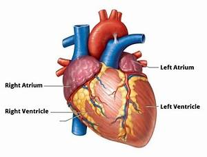 What Is The Left Ventricle? | MVP Resource
