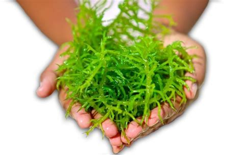 seaweed supplements review  natural health benefits