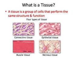Body Tissues Powerpoint And Worksheet By Sciencespot  Teaching Resources Tes