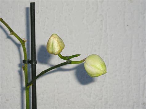 faire refleurir une orchidee phalaenopsis