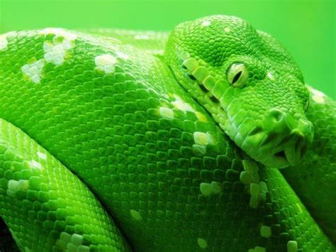 anaconda green snake big hd wallpaper  wallpaperscom