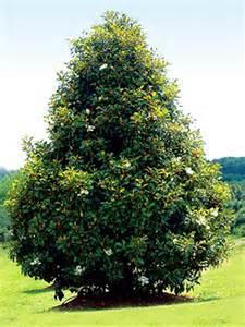 Bracken Brown Beauty Magnolia Tree