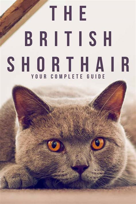 british shorthair  complete guide   happy cat site