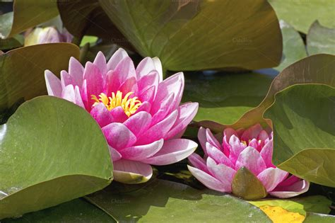 Lotus Flowers with Leaves ~ Nature Photos on Creative Market