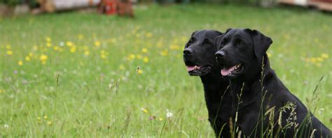 passion hunter labrador retriever zucht