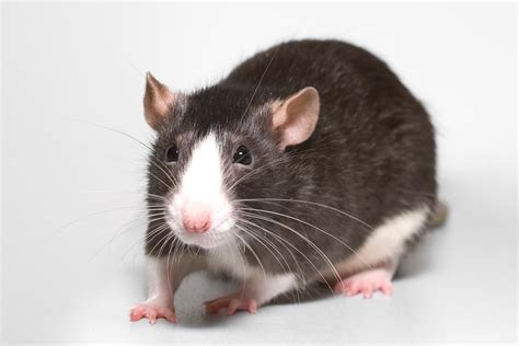 25 Awesome Pet Fancy Rat Facts!
