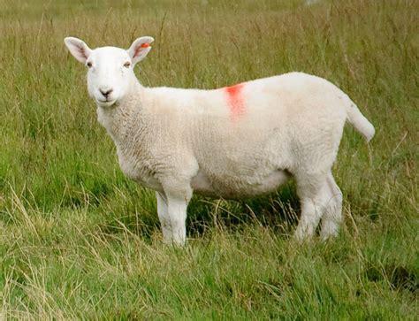 sheep farming modern farming methods