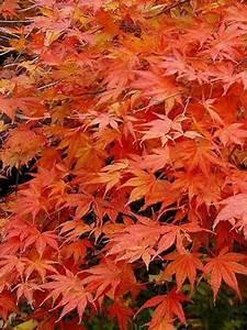 Erable Du Japon Entretien : erable du japon vert cheap le feuillage printanier de ~ Nature-et-papiers.com Idées de Décoration