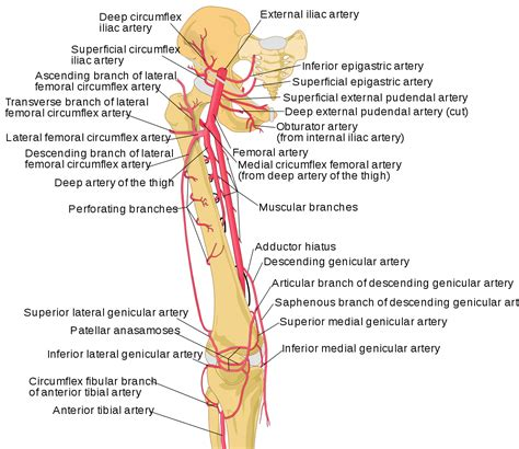 filethigh arteries schemasvg wikipedia