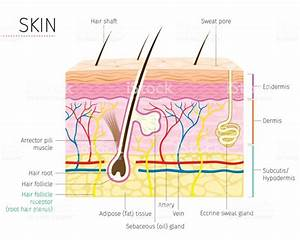 Human Anatomy Skin And Hair Diagram Stock Vector Art