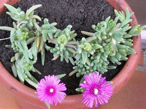 piante con fiori fucsia fucsie piante da giardino caratteristiche della fucsia