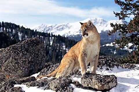 cat mountain mountain cat