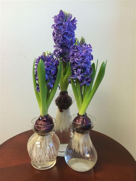 forcing hyacinths pegplant