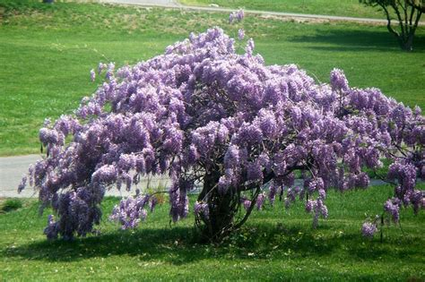 planting a wisteria photo of the entire plant of texas wisteria wisteria frutescens blue moon posted by sharon