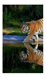 Tiger Walking On The Pond Way, HD Animals, 4k Wallpapers ...